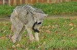 Mississauga Valley coyote