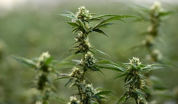Flowering marijuana plants are pictured during a tour of Tweed in Smiths Falls, Ontario on Thursday, Jan. 21, 2016. The company which owns and operates Canada's only platform used to finalize stock trades says it is leaving the door open to clearing trades of issuers with marijuana-related activities in the U.S., where pot remains illegal under federal law, for certain exchanges. THE CANADIAN PRESS/Sean Kilpatrick