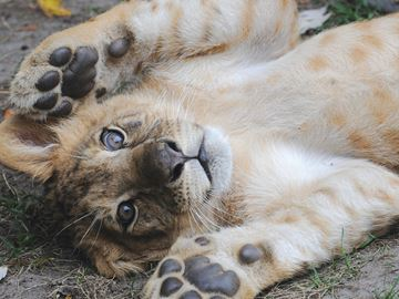 Declawing abandoned at Bowmanville Zoo