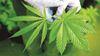 Medical Marijuana going to OMB