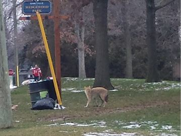 Town of Oakville looking at enclosing park garbage cans to deter coyotes