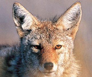 Coyote conflict
