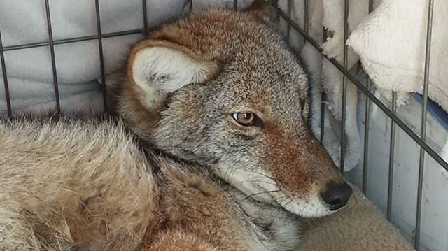 Injured coyote
