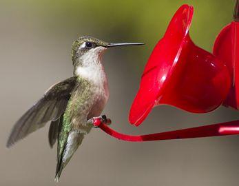 Ontario Hummingbird Festival at Wye Marsh