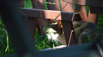 A pregnant cat waits on a chair in the front yard. Eventually, she was trapped.