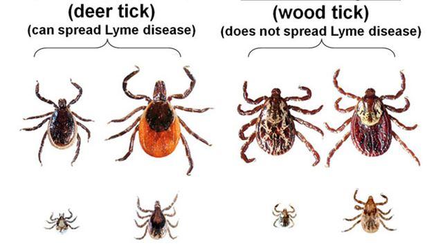 Lyme Disease Riddled Ticks Invading Muskoka