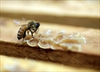 RCMP investigate bee deaths in Manitoba-Image1