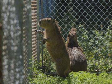 Capybaras at High Park Zoo