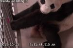 Er Shun is the Toronto Zoo's female giant panda