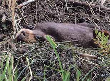 The score: Beavers 14, Wolves 1– Image 1