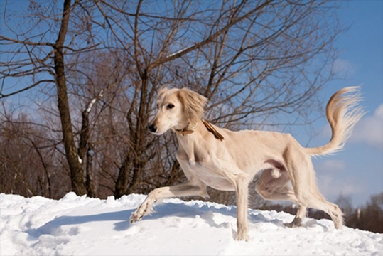 Opinion | URBANANIMAL: The ancient Saluki breed are an ...