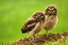Burrowing owlets