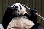 Toronto Zoo visitors get too close to panda-Image1