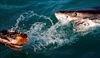 Off South Africa's coast, great white sharks are threatened-Image9