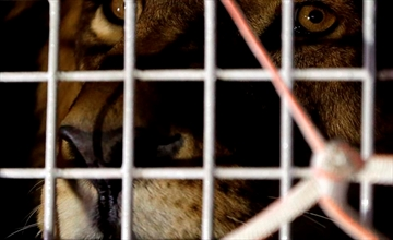 33 rescued lions arrive in South Africa in airlift-Image1