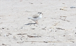 Wasaga wants province to review plover habitat needs