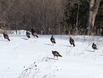 A flock of wild turkeys are out for a stroll in a wooded area. They were spotted off of Derry Road and also off of Appleby Line.