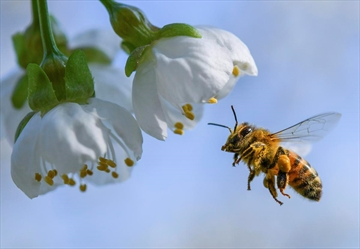 A honeybee flies towards a cherry tree blossom in Markendorf, Germany, Thursday, April 19, 2018. Health Canada still proposes to phase out most outdoor and agricultural uses of a common pesticide even though a recent study found bees are only affected by the substance in certain circumstances.