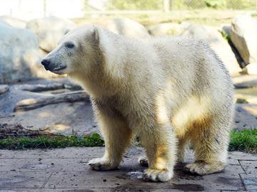 Toronto Zoo Juno the polar bear cub