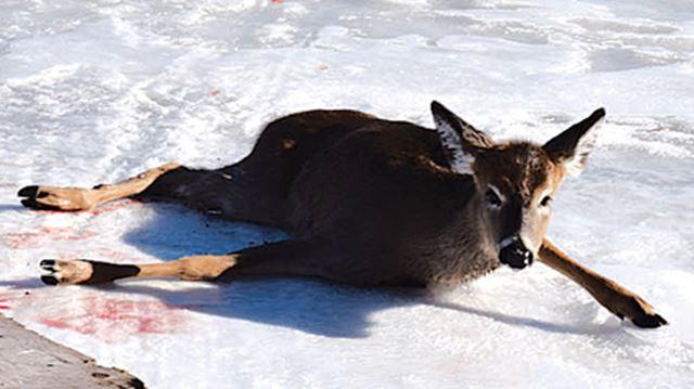 Deer dies