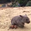 Derek the Wombat