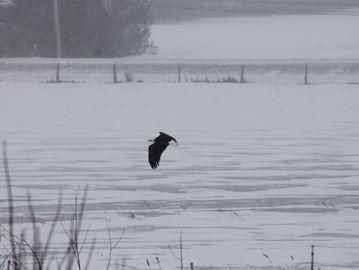 Bald eagle spotted at Carp
