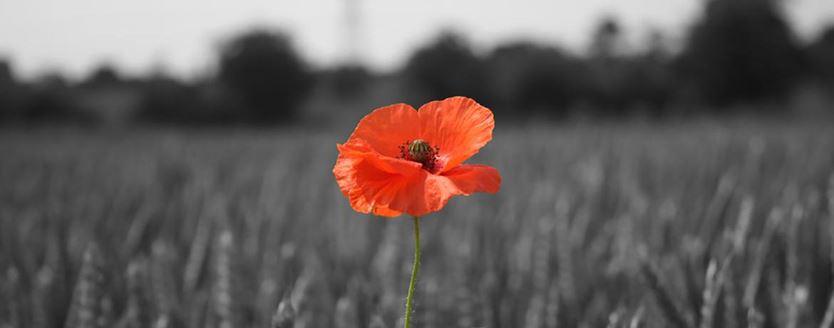 Image of poppy in wheat field