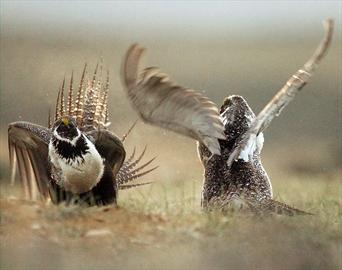 Rare good news for endangered sage grouse-Image1