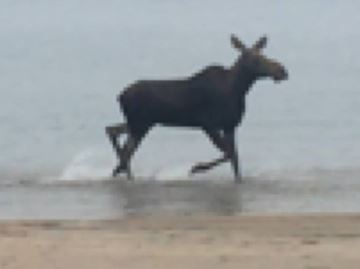 Moose spotted on Wasaga Beach