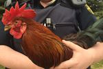OSPCA searching for forever homw for roosters