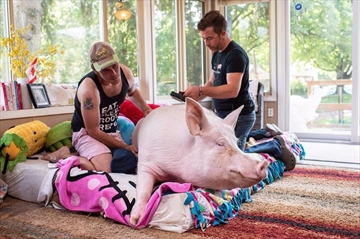 A celebrity pig whose owners raised more than half a million dollars to bring an oversized CT scanner to Canada has been diagnosed with cancer. Canadian authors Steve Jenkins and Derek Walter spend time with their pig Esther at their animal sanctuary in Campbellville, Ont., on Wednesday, July 11, 2018. THE CANADIAN PRESS/Hannah Yoon