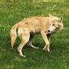 Coyote sightings unnerving for resident
