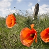 How the poem 'In Flanders Fields' still resonates today