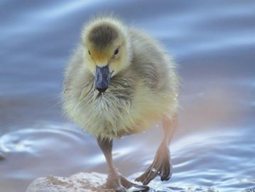 OUR NIAGARA: Duck Duck Goose