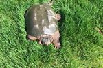 Large snappping turtle found on front lawn