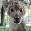 Lion cubs have been named