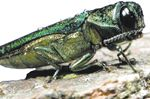 Burlington's $1.4M EAB action plan to see more than 3K trees removed