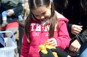 Isabella Bastidas pets some chicks during Easter activities in downtown Stouffville Saturday. (Nick Iwanyshyn/York Region Media Group)
