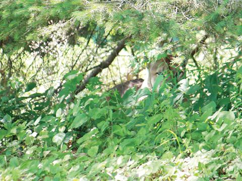 cranberry lake cougar women Grafton -- a cougar found napping under a deck in the grafton area will likely spend the rest of its life in captivity the cougar, now named 'charlie', was spotted in several areas around.