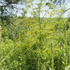 How to identify wild parsnip