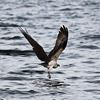 Photographer captures osprey over Innisfil waters