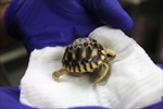 Toronto Zoo hatches new Burmese star tortoise-Image1