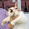 Golden Triangle Cat Fanciers show