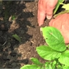 Your Life summer gardening: Finding the early potatoes