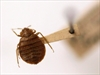 B.C. researchers take bite out of bedbug problem-Image1
