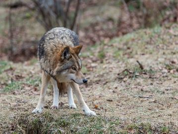Huntsville woman has run-in with coyote