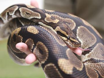 Flanders the royal python
