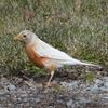 Albino robin welcomes spring in Bowmanville