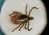 Testing for deadly virus in ticks expanded-Image1