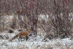 Wandering fox pair